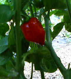 Red Savina Chilli